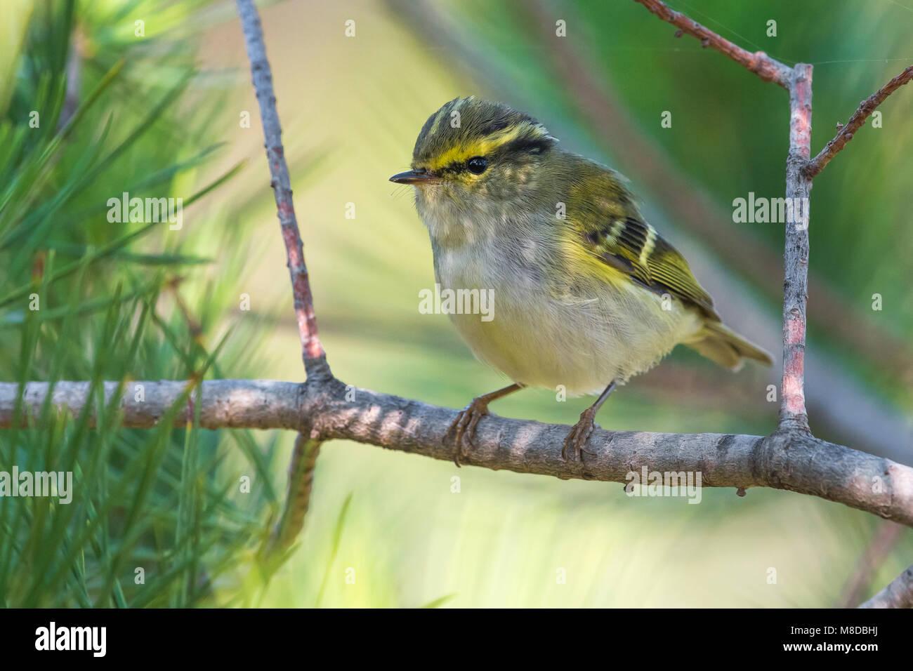 Pallas' Boszanger; Pallas's Leaf Warbler Stock Photo