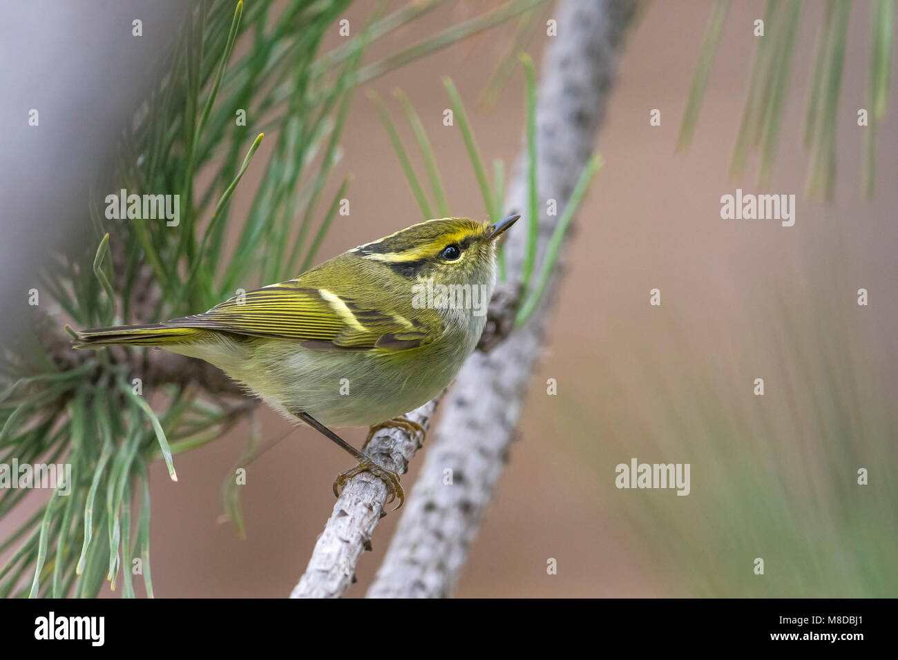 Pallas' Boszanger; Pallas's Leaf Warbler Stock Photo