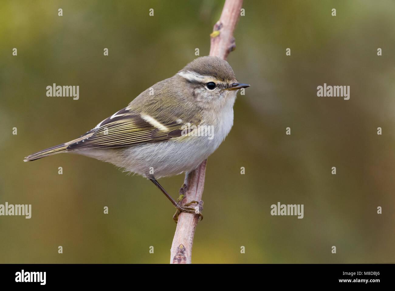 Bladkoning; Yellow-browed Warbler Stock Photo