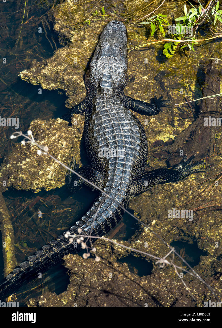 Aligator basking at sun at Pa-hay-okee Overlook, Everglades National Park Stock Photo