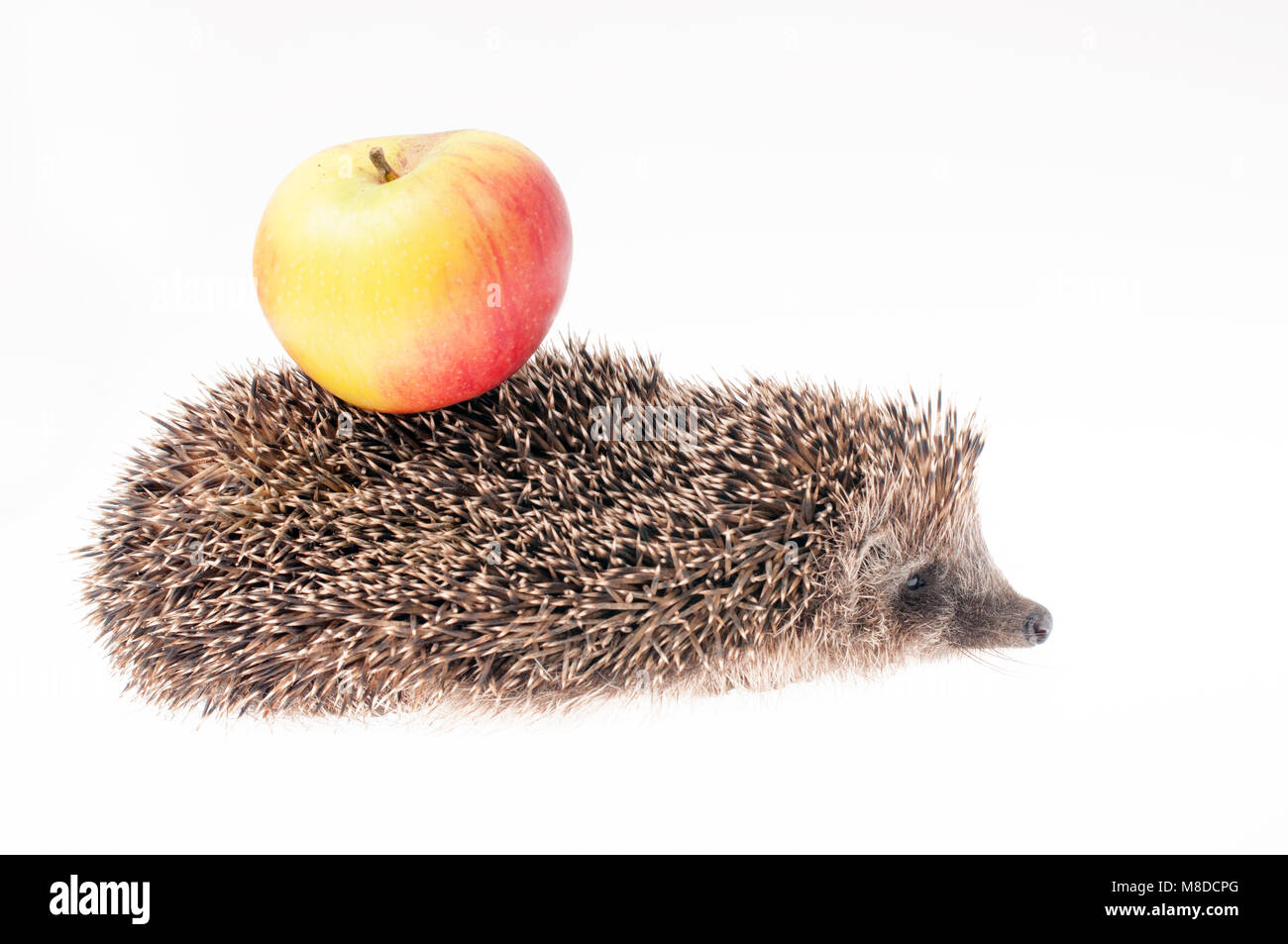 Hedgehog with apple on it's back - Stock Image