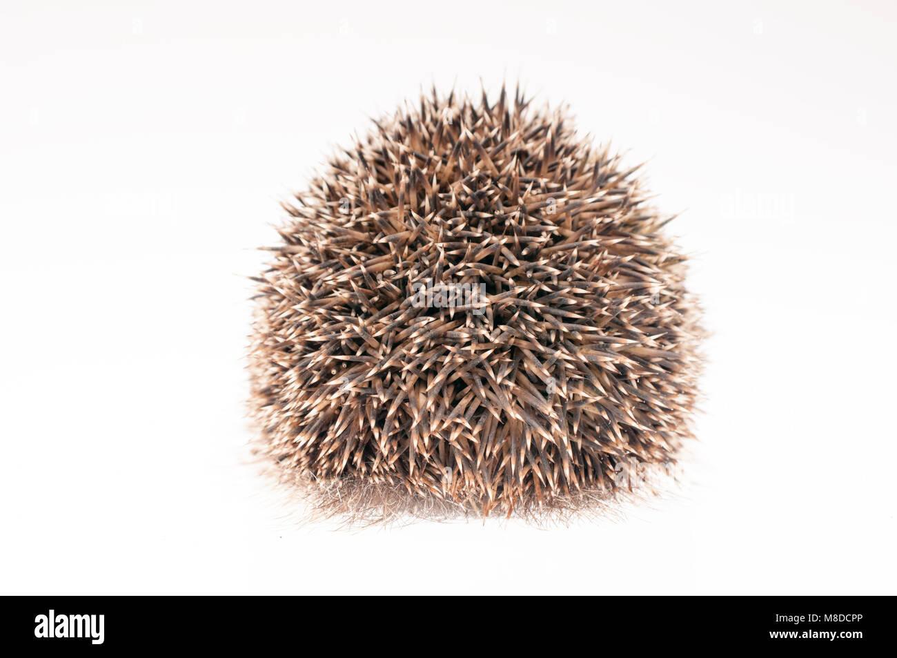 Back of a hedgehog on white background - Stock Image
