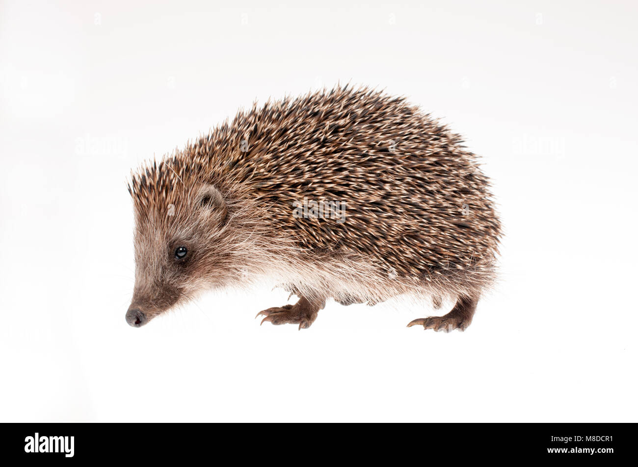 Small hedgehog on white background - studio shot - Stock Image