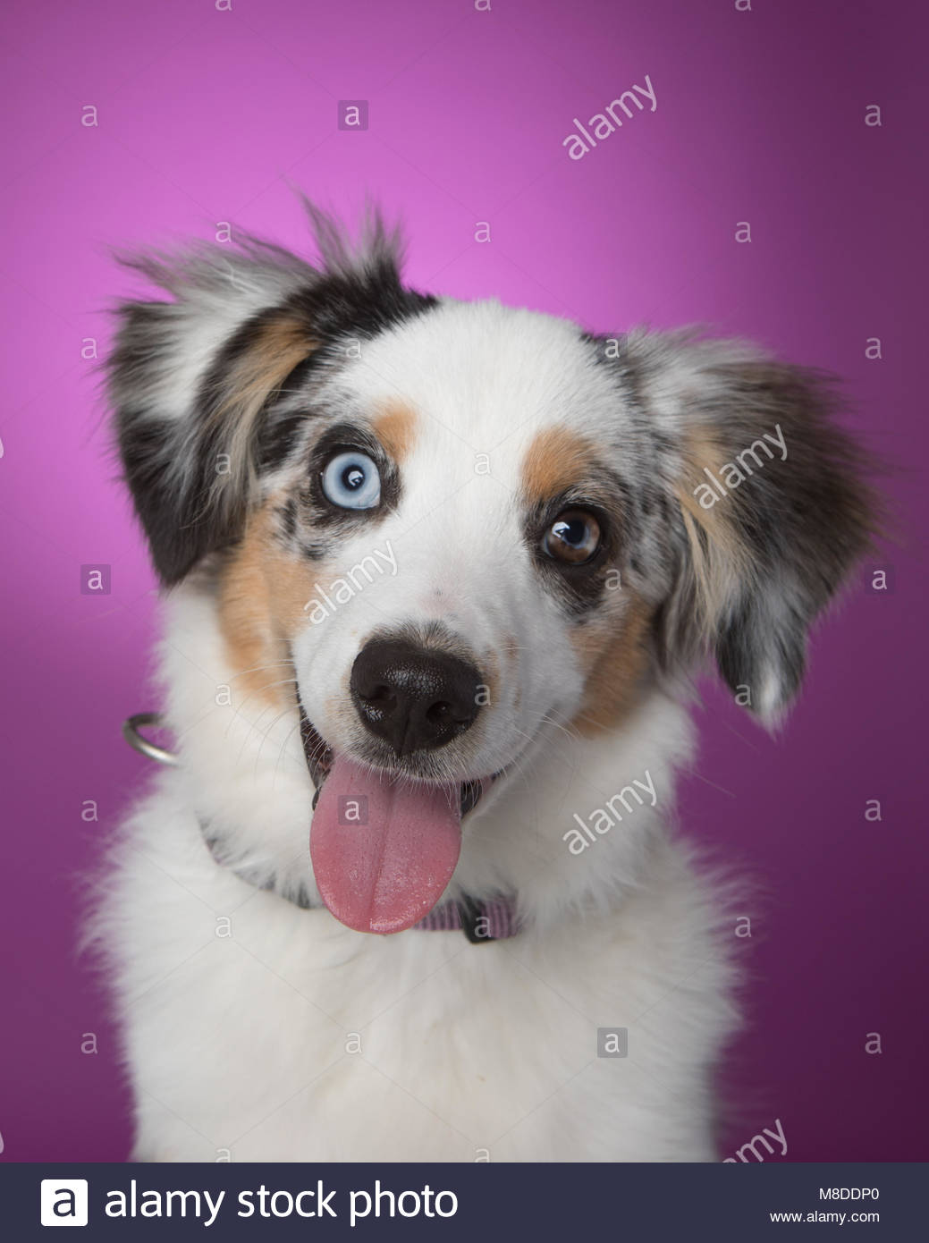 Studio portrait of miniature australian shepherd puppy with head tilted and smiling against a purple background - Stock Image