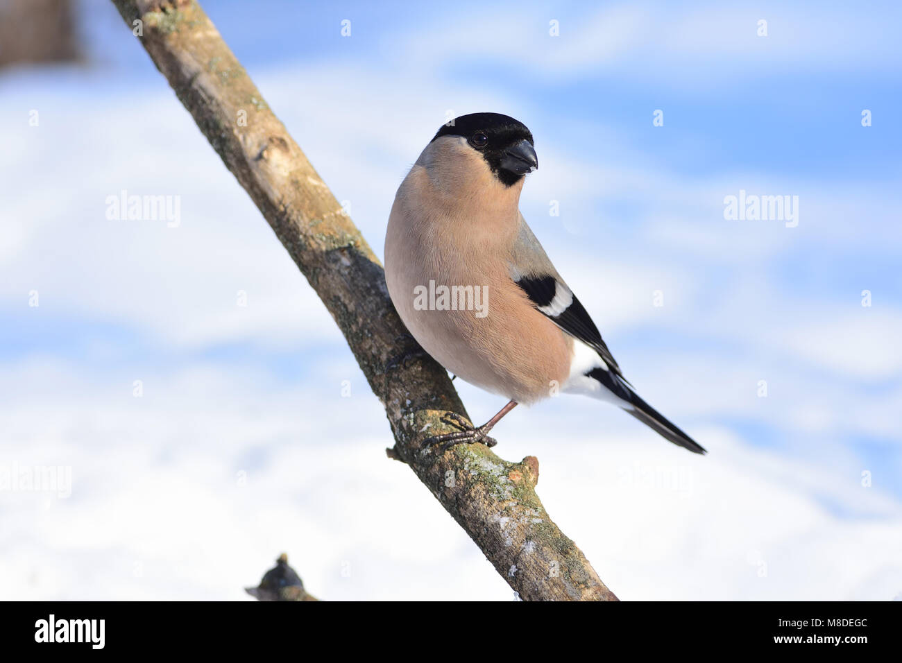Female of eurasian (common) bullfinch (Pyrrhula pyrrhula) posing on a thick branch. Stock Photo