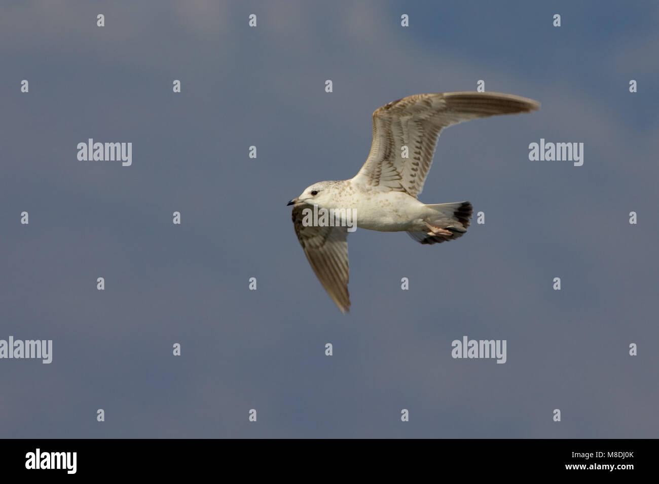 Onvolwassen Stormmeeuw in vlucht; Immature Common Gull in flight - Stock Image