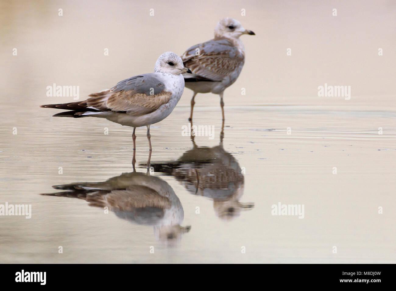 Onvolwassen Stormmeeuw; Immature Mew Gull - Stock Image