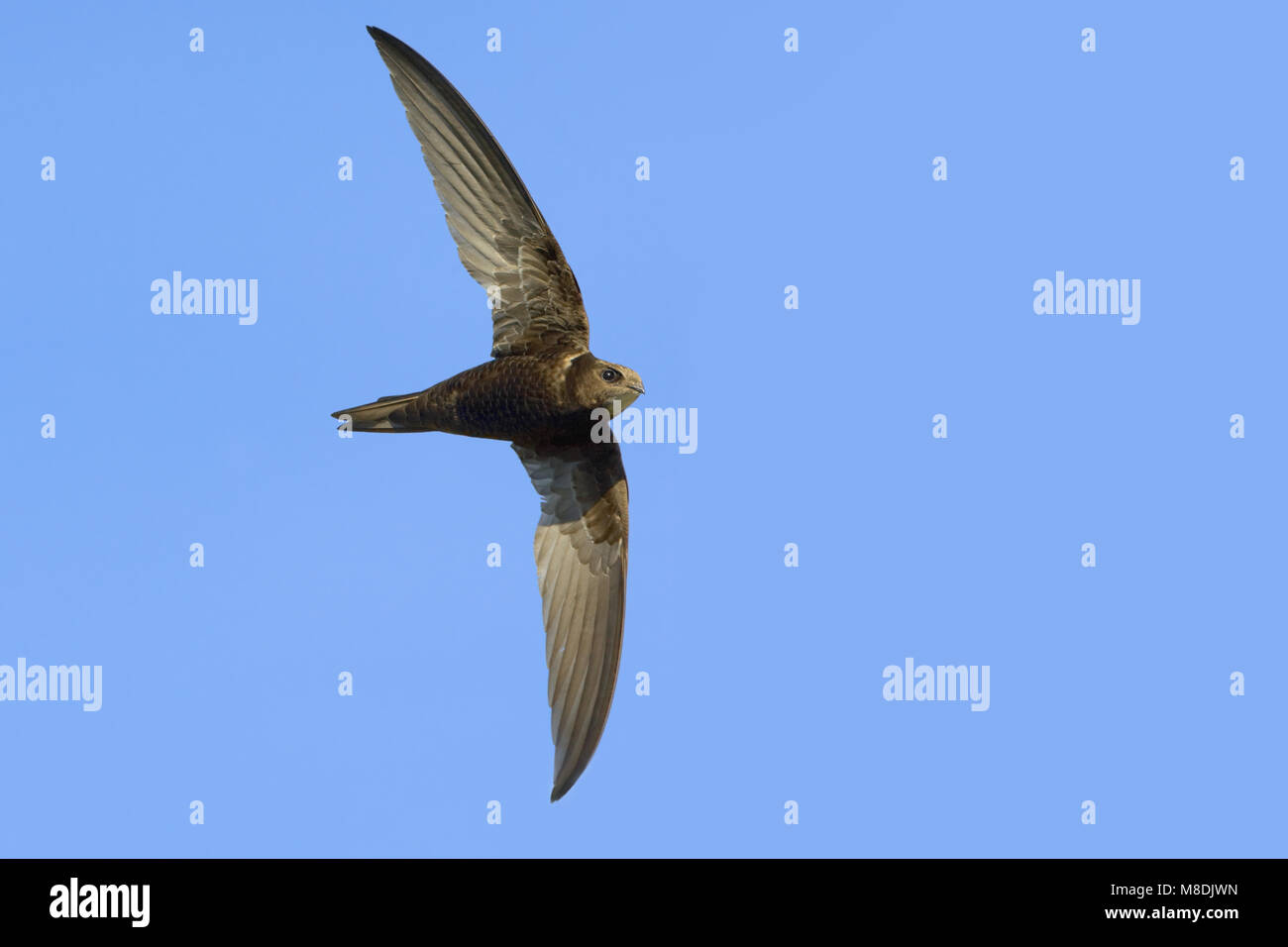 Common Swift flying; Gierzwaluw vliegend - Stock Image