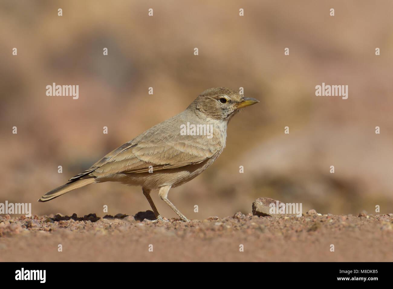 Woestijnleeuwerik in droog habitat; Desert lark in dry habitat - Stock Image