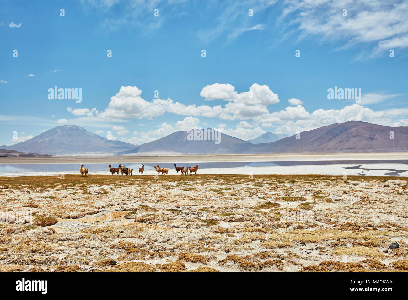 Herd of llamas on landscape, Salar de Chiguana, Chiguana, Potosi, Bolivia, South America - Stock Image