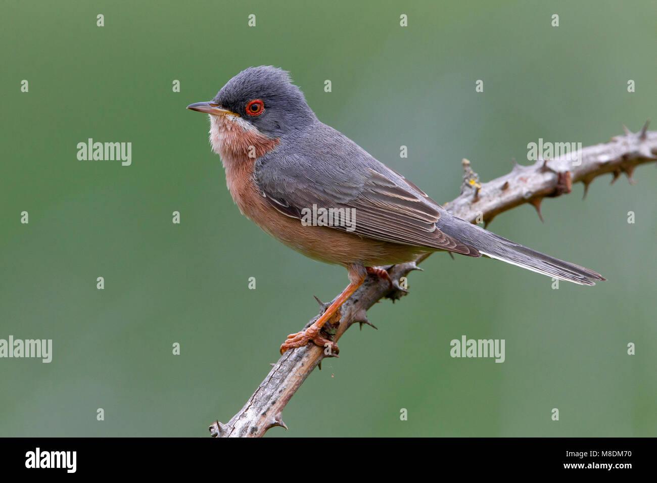 Moltoni's Baardgrasmus; Moltoni's Subalpine Warbler; Sylvia cantillans moltonii; bird; vogel; Europe; Europa; - Stock Image