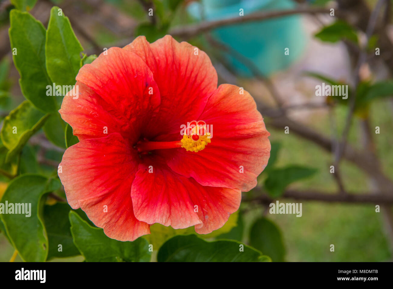 A close shot of a hibiscus rosa sinensis the national flower of a close shot of a hibiscus rosa sinensis the national flower of stock photo 177322667 alamy izmirmasajfo Choice Image