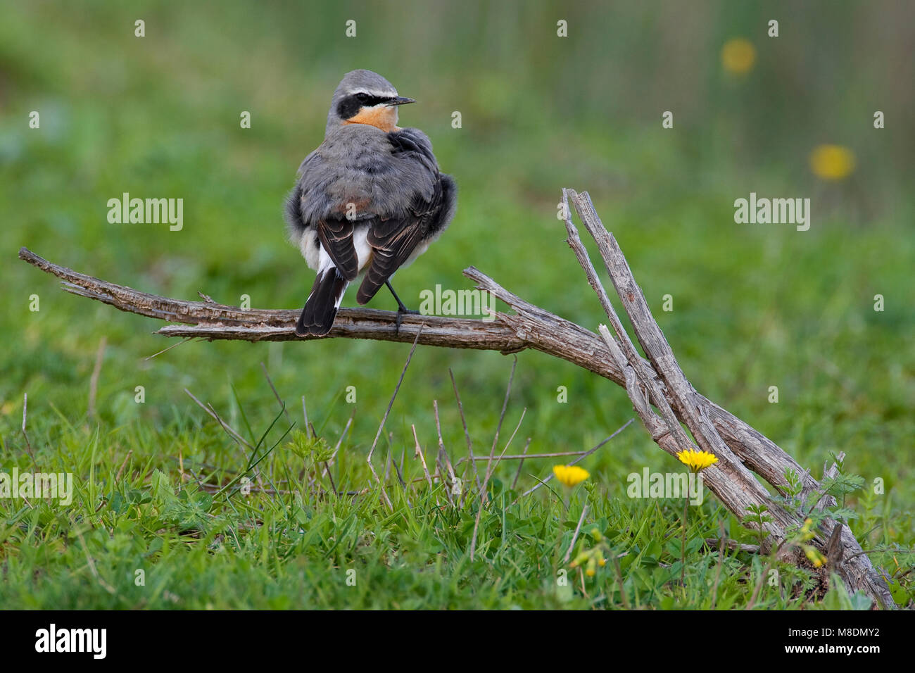 Mannetje Tapuit; Male Northern Wheatear Stock Photo