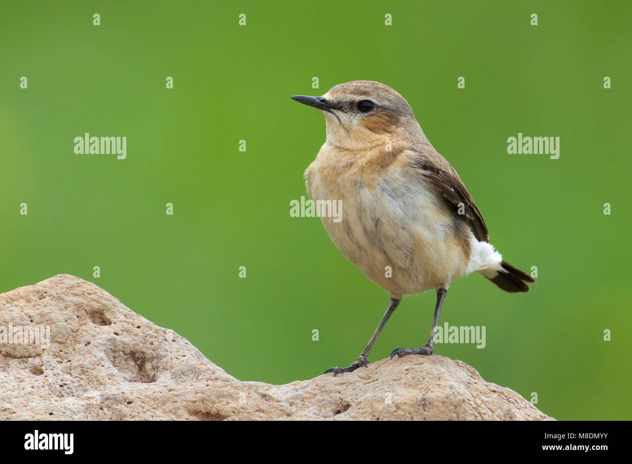 Vrouwtje Tapuit; Female Northern Wheatear Stock Photo