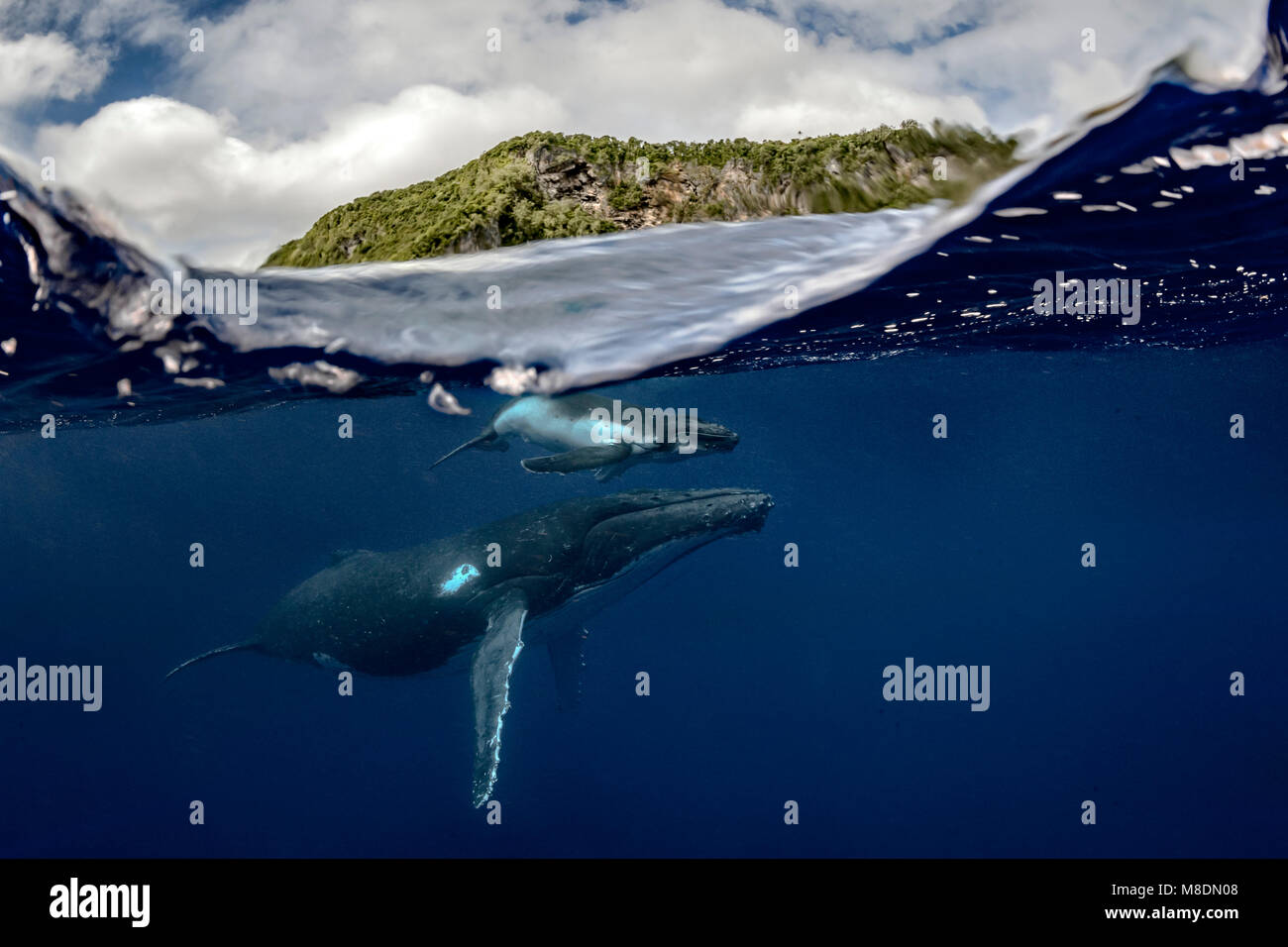 Humpback whale (Megaptera novaeangliae) and calf in the waters of Tonga - Stock Image