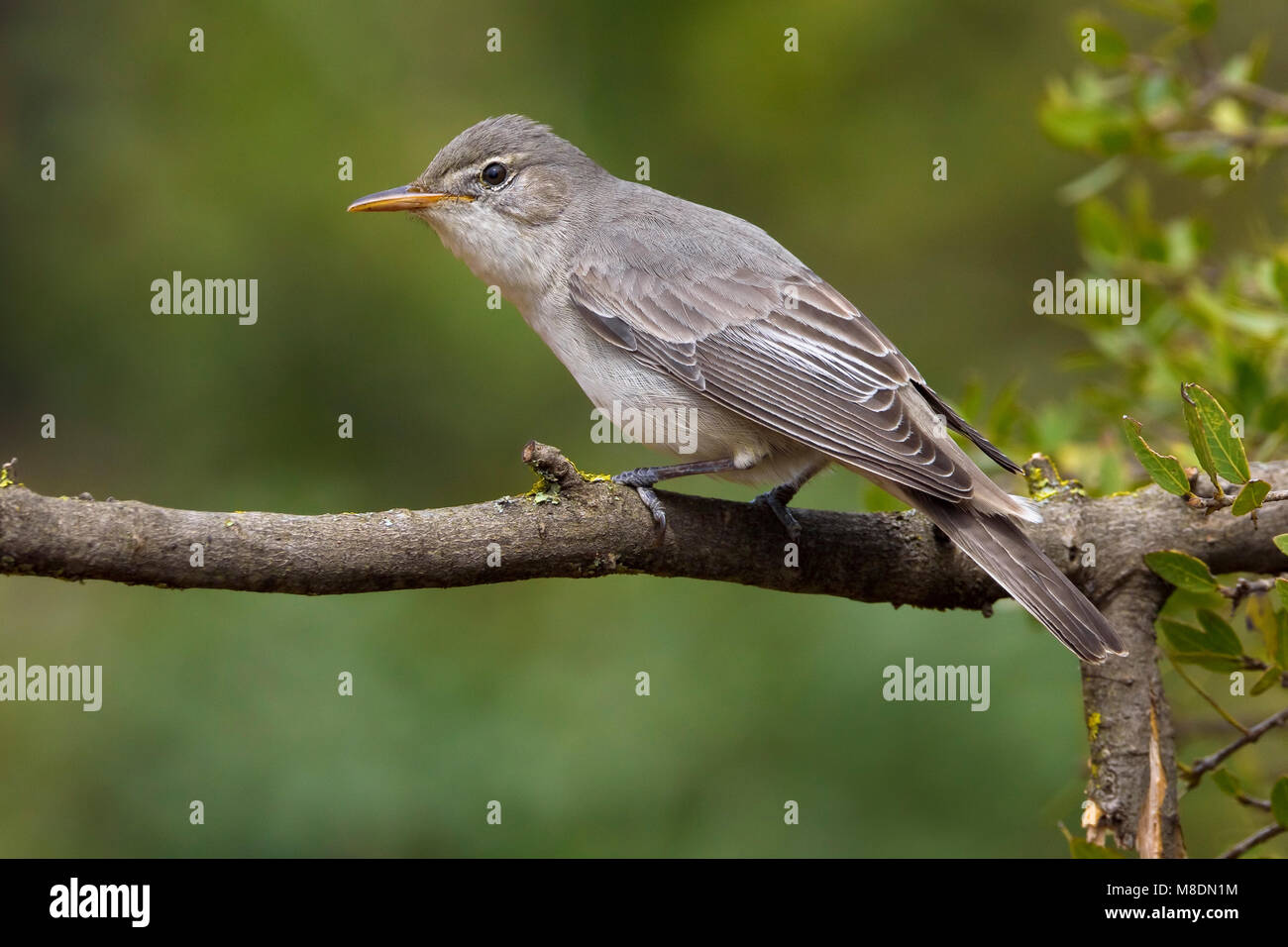 Griekse Spotvogel zittend op tak; Olive-tree Warbler perched on branch Stock Photo