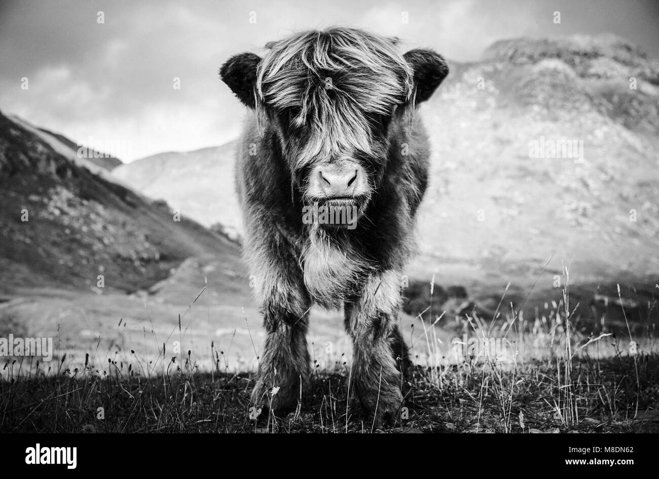 Highland cow black and white stock photos images alamy