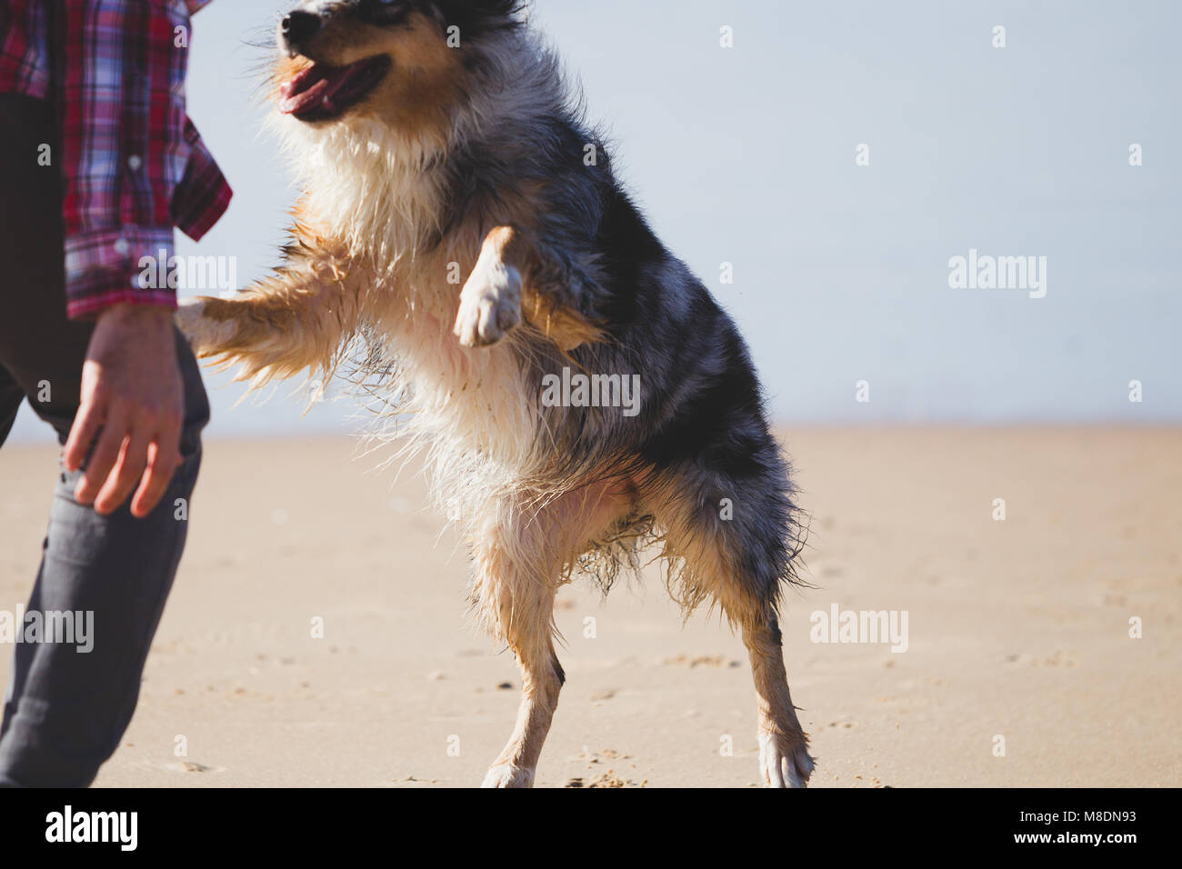 Man playing with leaping dog on beach, cropped - Stock Image