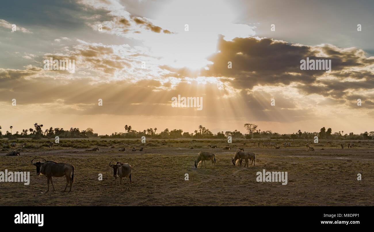 Wildebeests in Amboseli National Park, Amboseli, Rift Valley, Kenya - Stock Image