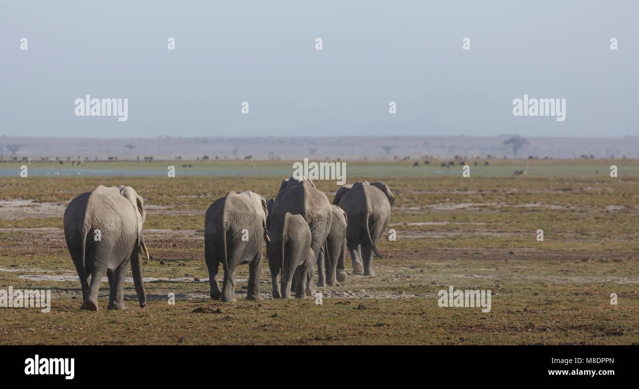 Herd of elephants in Amboseli National Park, Amboseli, Rift Valley, Kenya - Stock Image