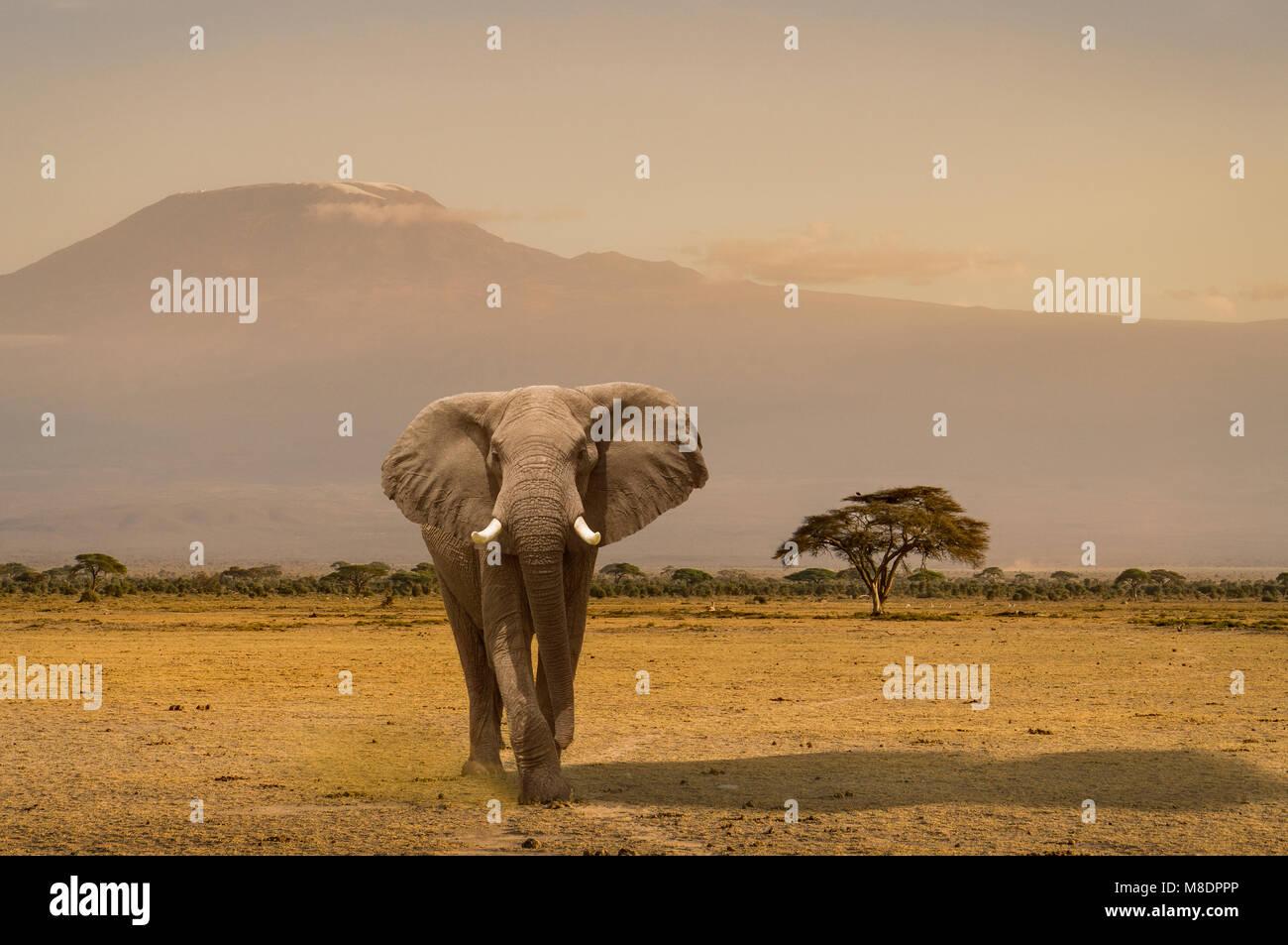 Portrait of elephant, Amboseli National Park, Amboseli, Rift Valley, Kenya - Stock Image