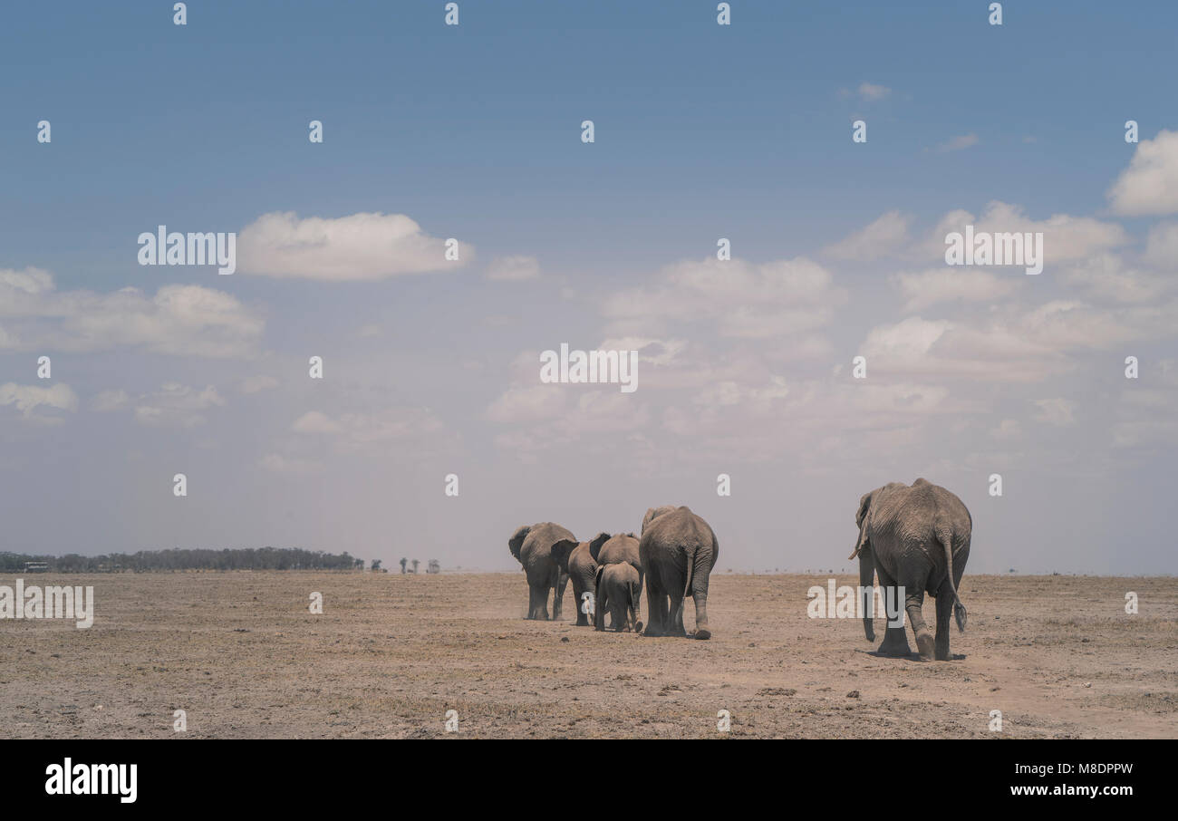 Herd of elephants, Amboseli National Park, Amboseli, Rift Valley, Kenya - Stock Image