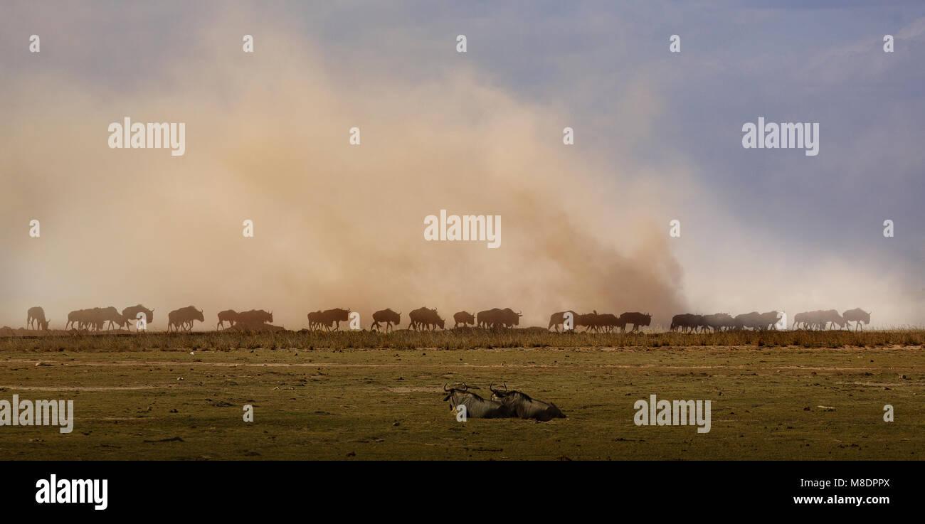 Wildebeest, Amboseli National Park, Amboseli, Rift Valley, Kenya - Stock Image