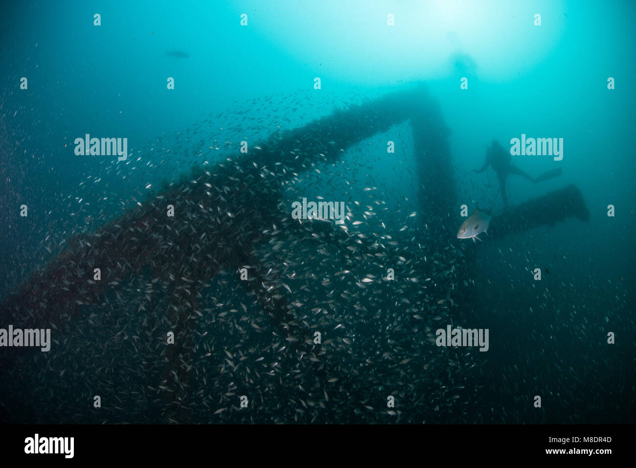School of fish and scuba diver exploring sunken ship, Cancun, Mexico - Stock Image