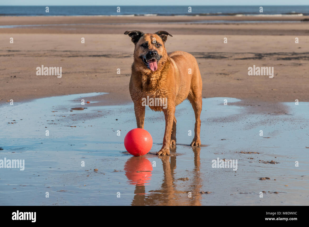 A mongrel tan coloured dog playing with a bright red ball on a beach at Alnmouth, Northumberland Coast AONB, UK - Stock Image