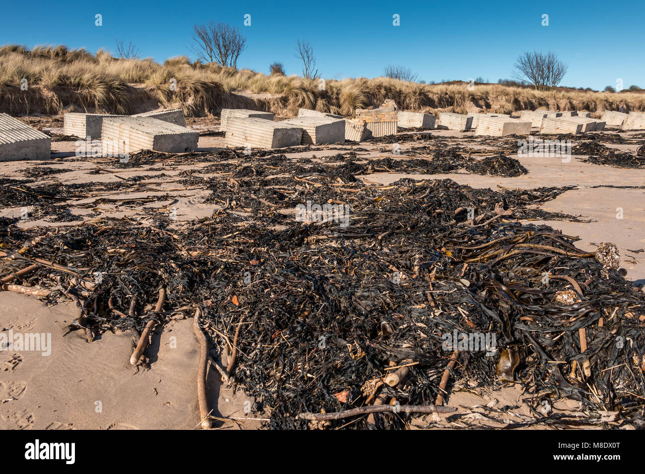 Seaweed and WWII Sea defences on Alnmouth Beach, Northumberland Coast AONB, UK - Stock Image