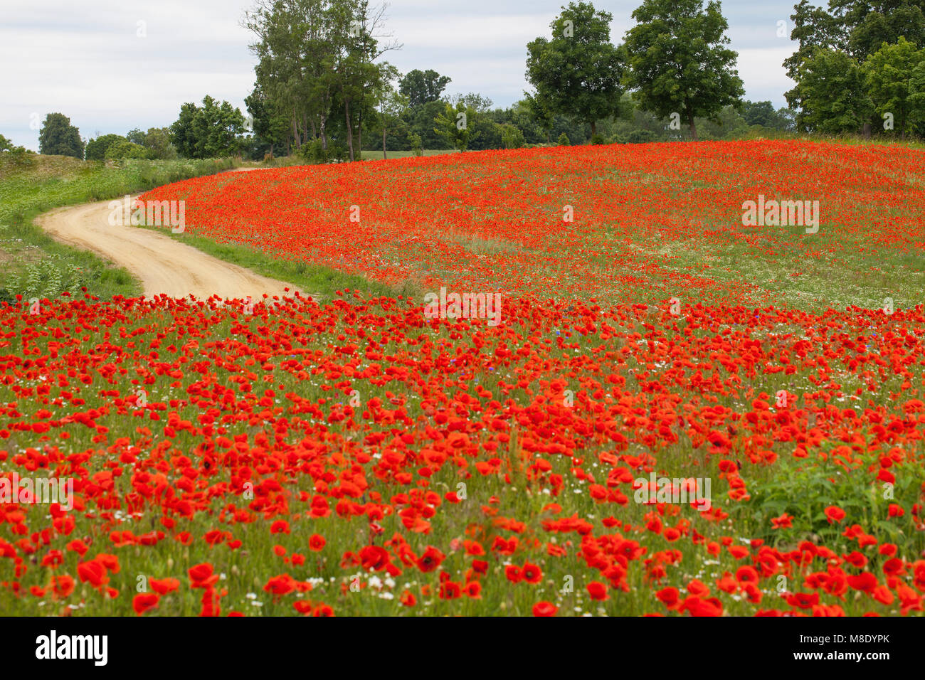 Road between two poppy's meadows - Stock Image