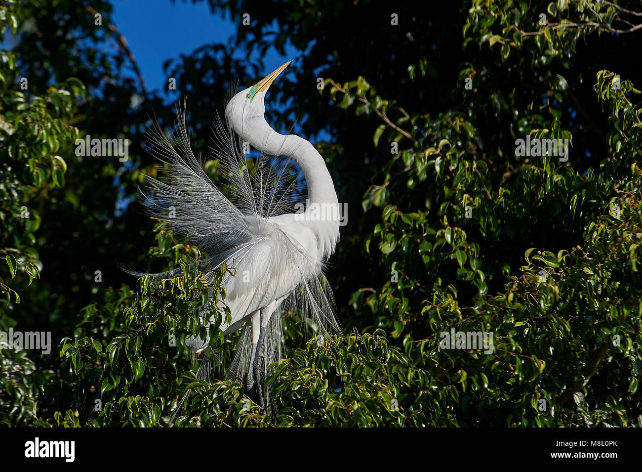 Great Egret (Ardea alba) in breeding plumage courtship dispaly while perched in a tree at edge of Lake Chapala, Stock Photo