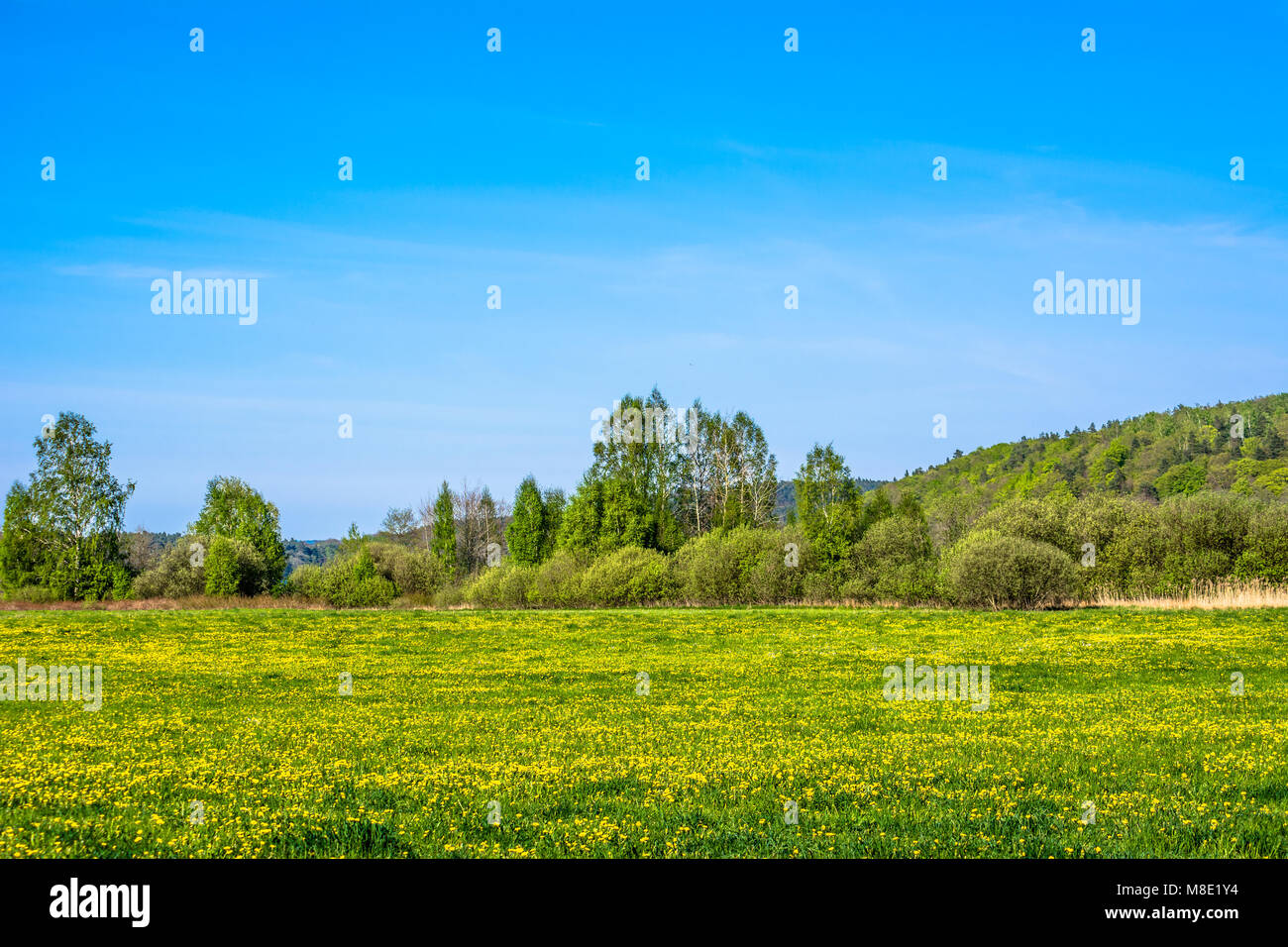 Green spring landscape with field of dandelion, flowers on meadow with lush grass and blue sky - Stock Image