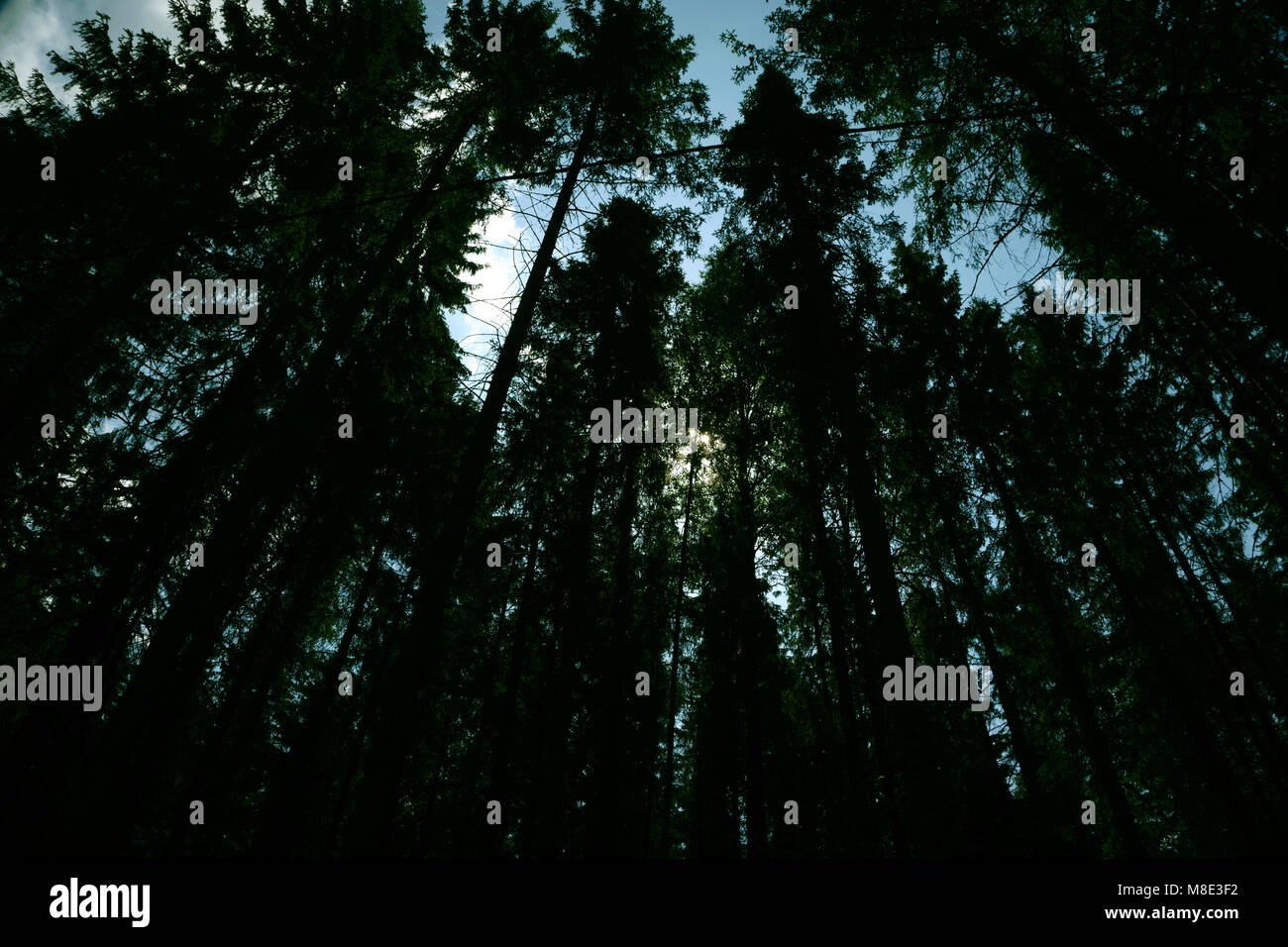 big beech trees in spring time - Stock Image