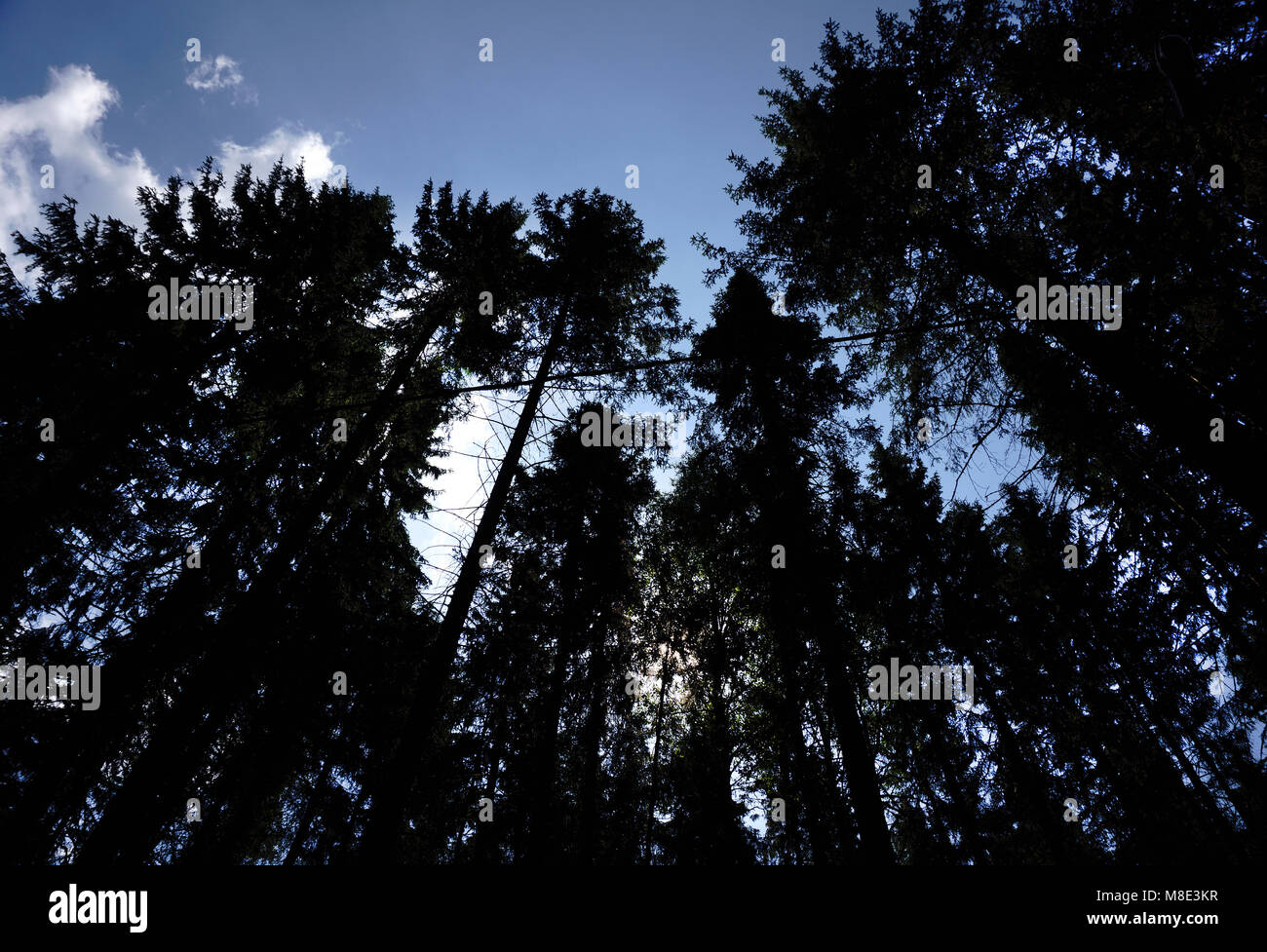 Low angle view of tall trees - Stock Image