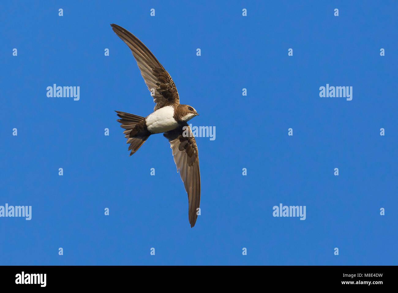 Alpengierzwaluw in de vlucht; Alpine Swift in flight Stock Photo