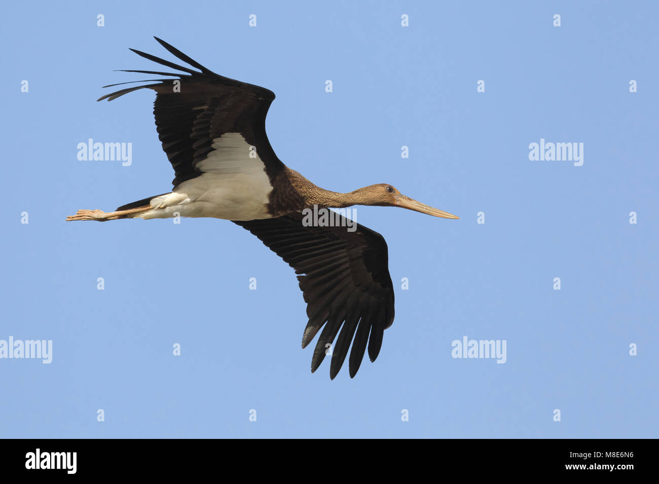 Juveniele Zwarte Ooievaar in de vlucht; Juvenile Black Stork in flight Stock Photo