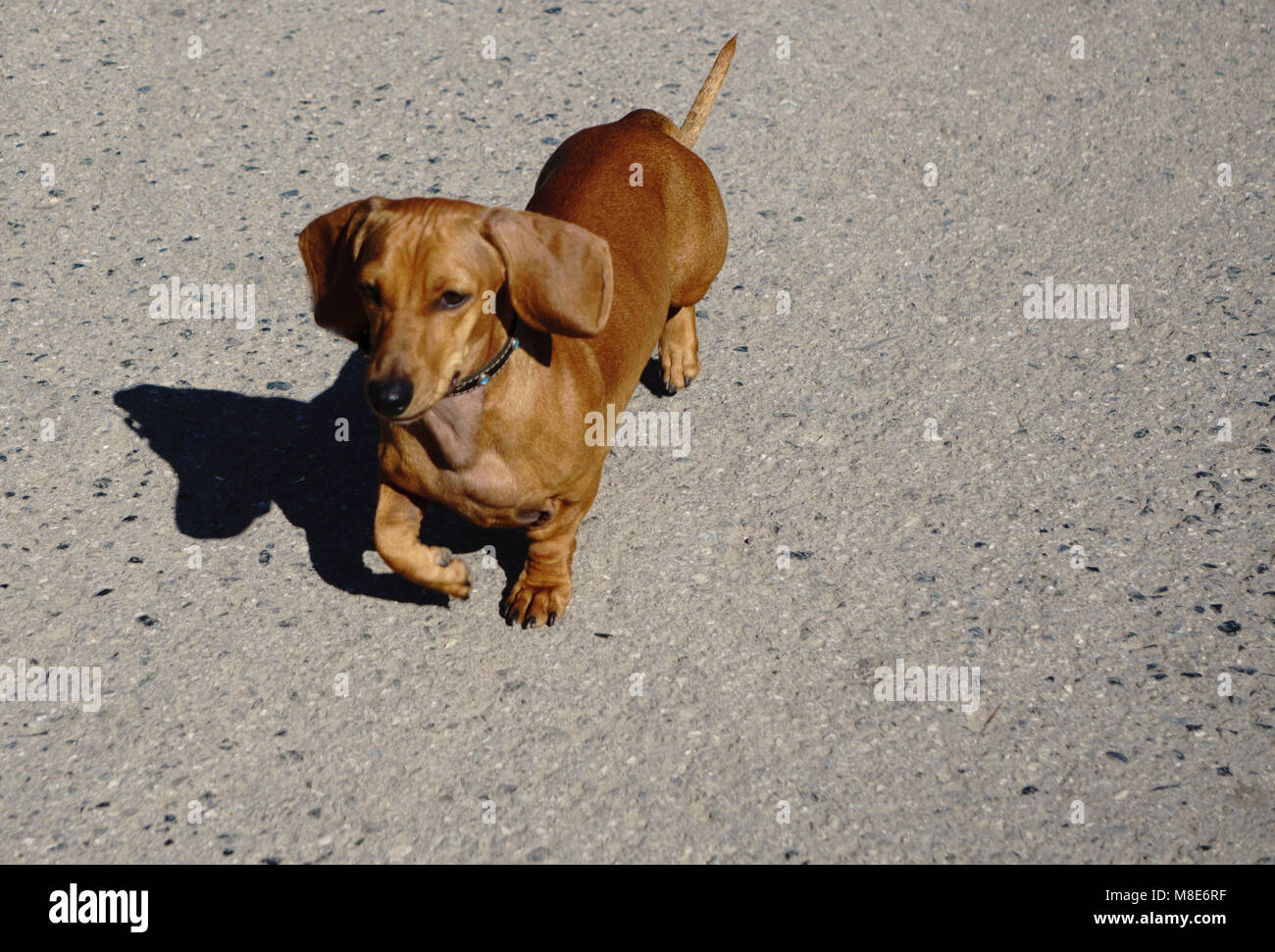 Four dachshunds on the dog show - Stock Image