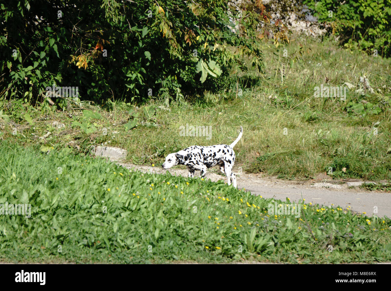 Dalmatian Puppy on a walk - Stock Image