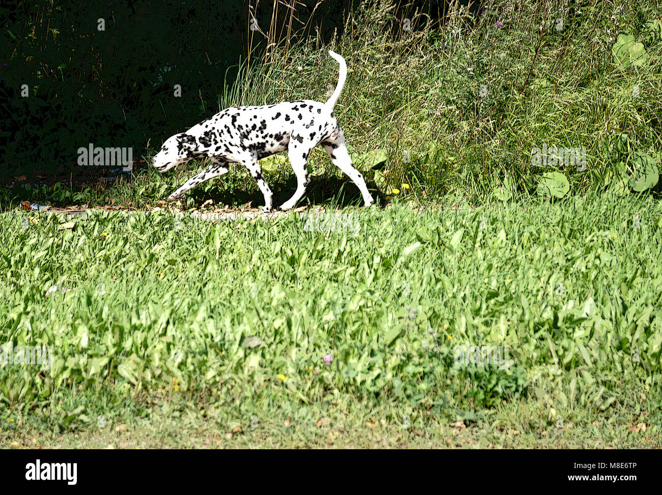 Dalmatian dog running - Stock Image