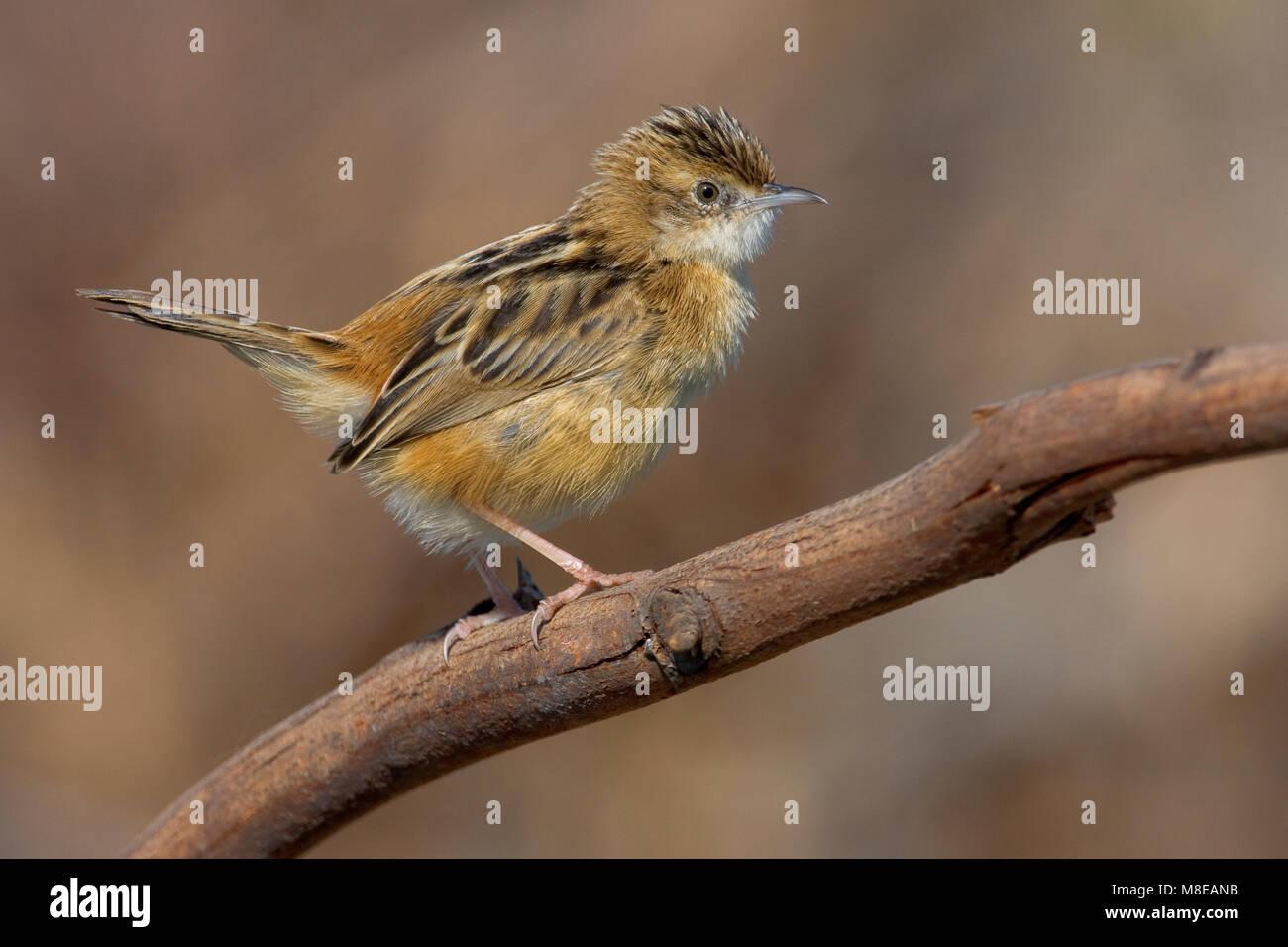 Graszanger op takje; Zitting Cisticola perched on twig - Stock Image