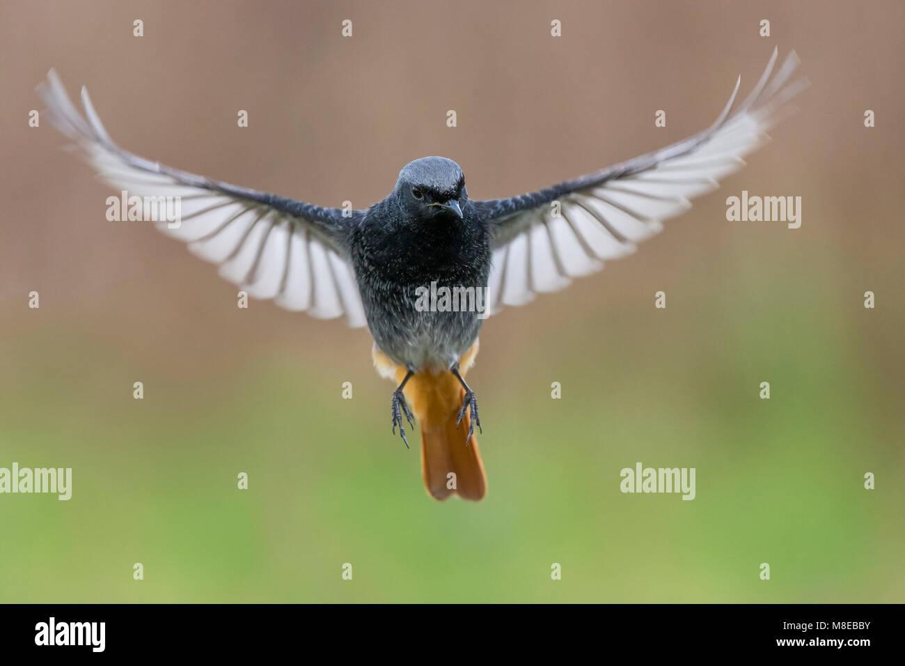 Zwarte Roodstaart; Black Redstart; Phoenicurus ochruros gibraltariensis Stock Photo