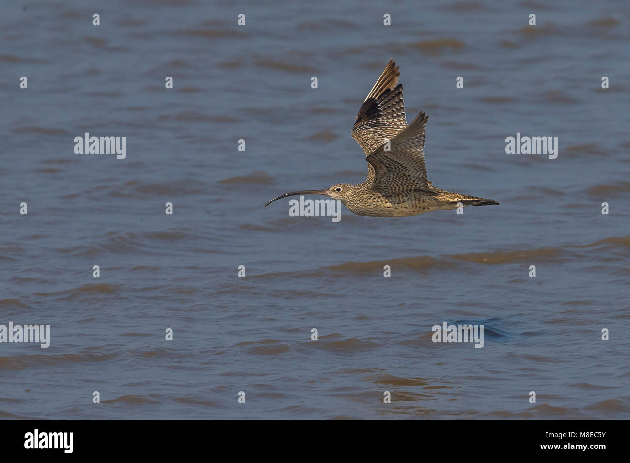 Siberische Wulp in de vlucht; Far Eastern Curlew in flight - Stock Image