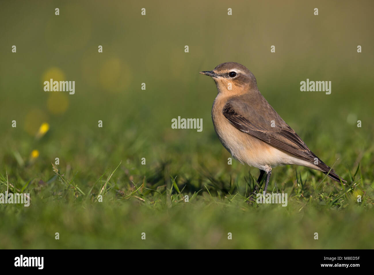 Vrouwtje Tapuit, Female Northern Wheatear Stock Photo