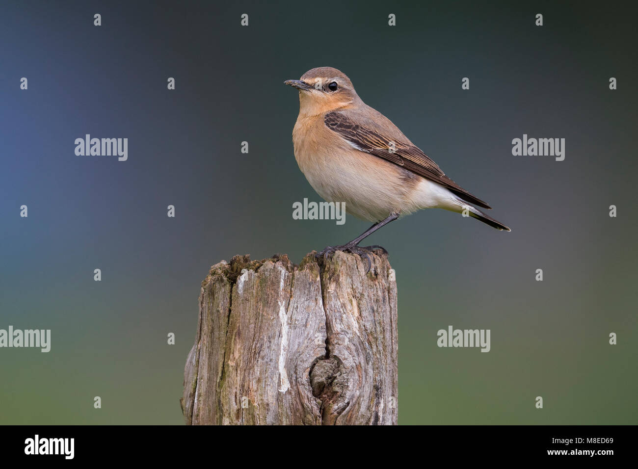 Tapuit; Northern Wheatear; Stock Photo