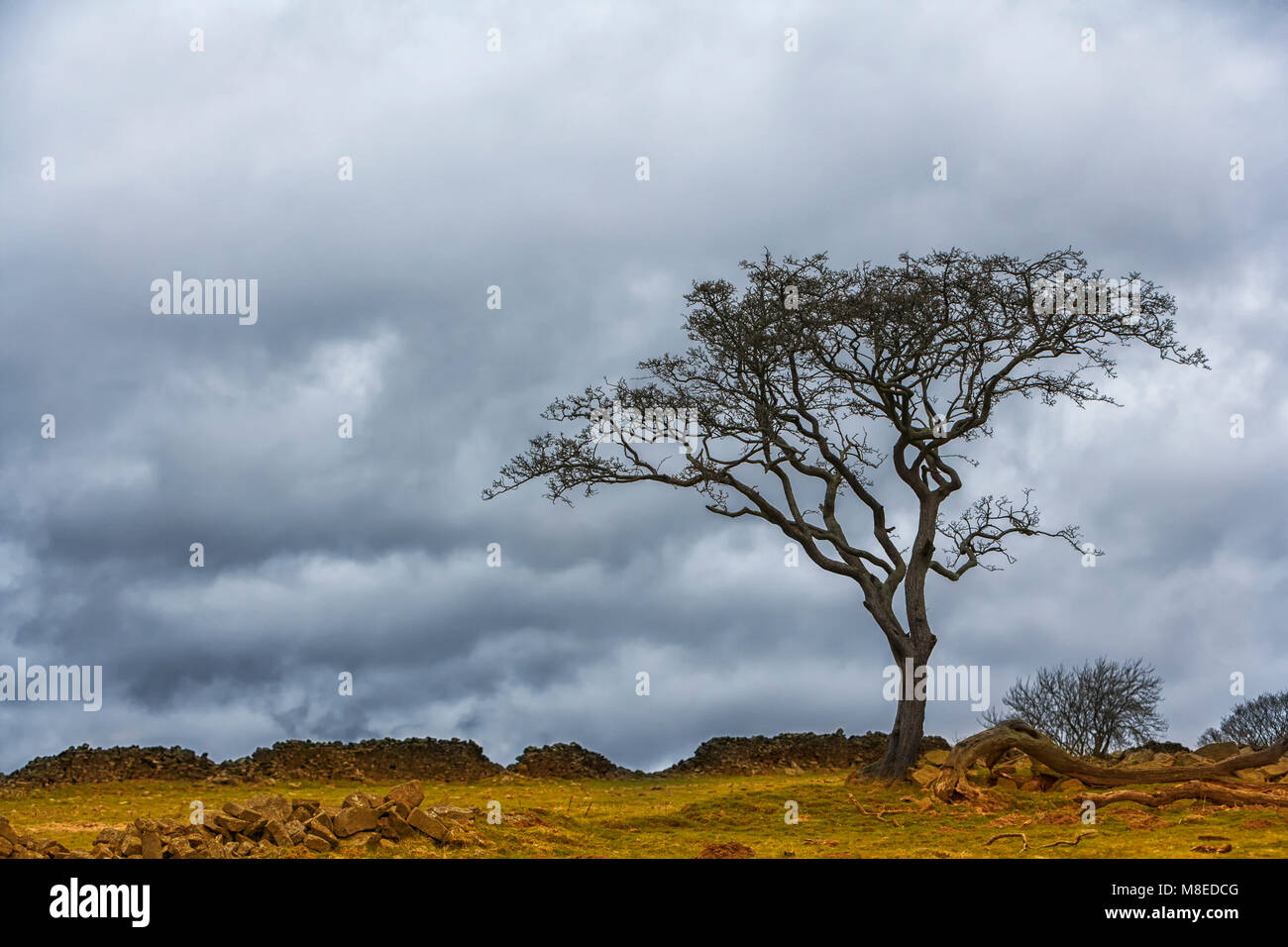 Hawthorn Tree on moorland with heavy rain clouds overhead - Stock Image