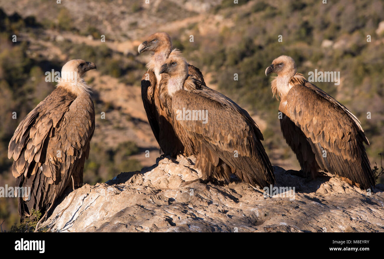 Group of Eurasian Griffon Vultures (Gyps fulvus) sat on a rock/boulder high up in the Pyrenees Spain. - Stock Image