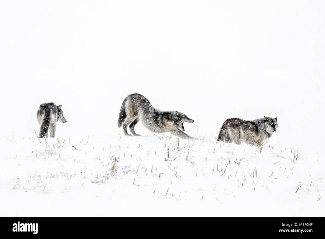 Grey Wolves also known as Timber Wolves, Canis lupis, Manitoba, Canada. Stock Photo
