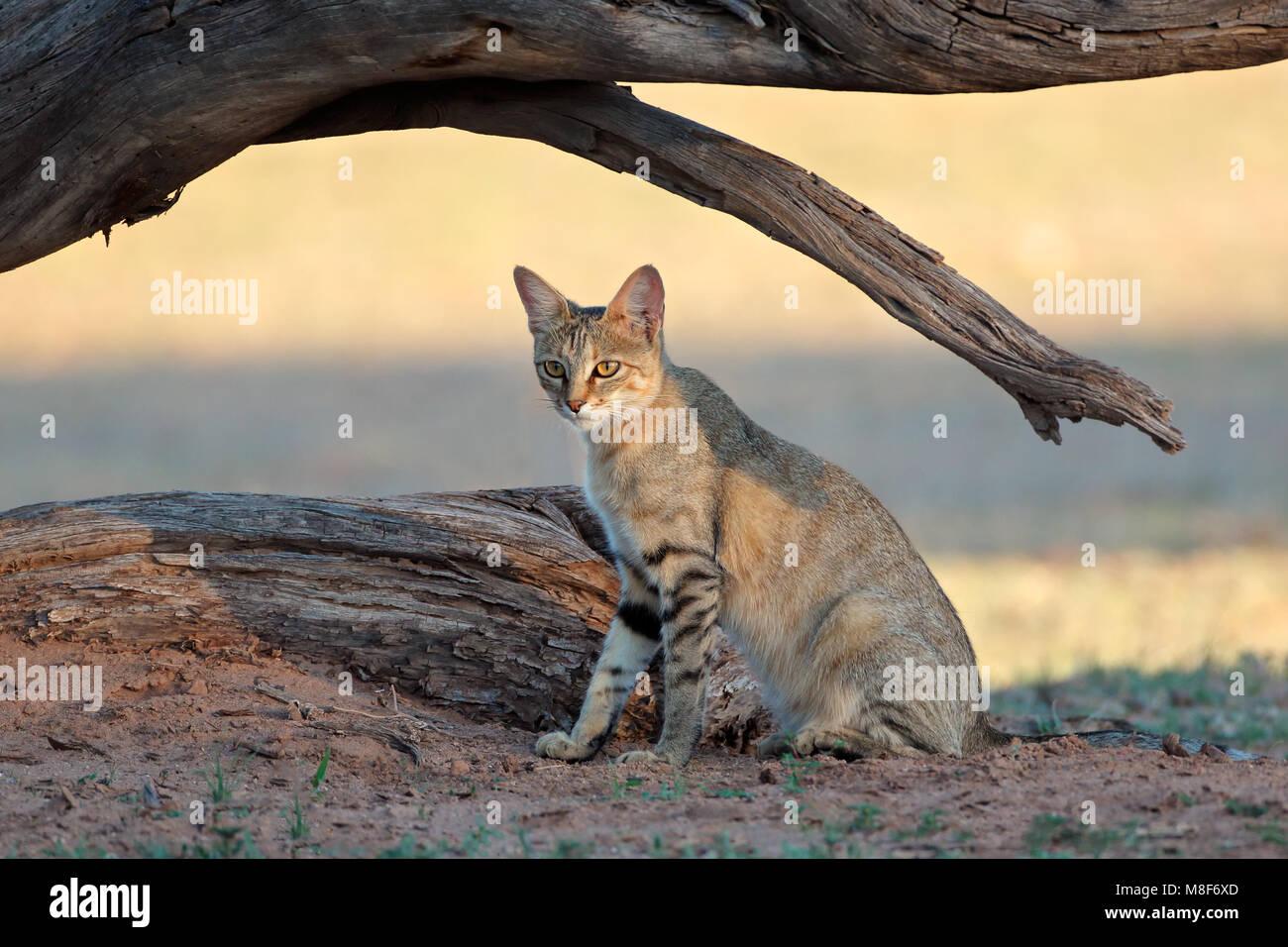 An African wild cat (Felis silvestris lybica), Kalahari desert, South Africa Stock Photo