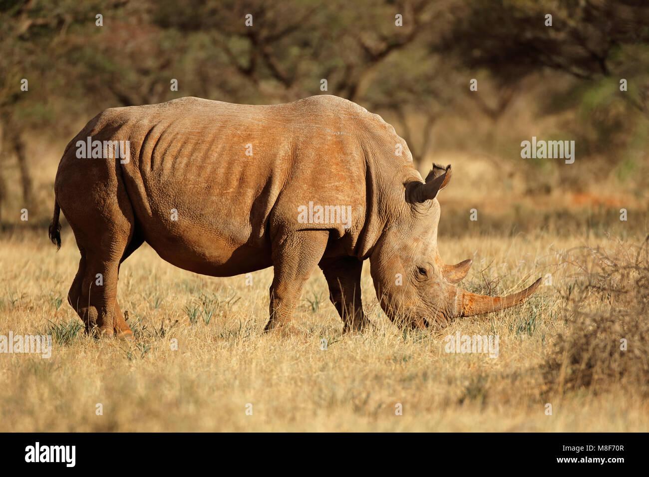 A white rhinoceros (Ceratotherium simum) grazing in natural habitat, South Africa - Stock Image